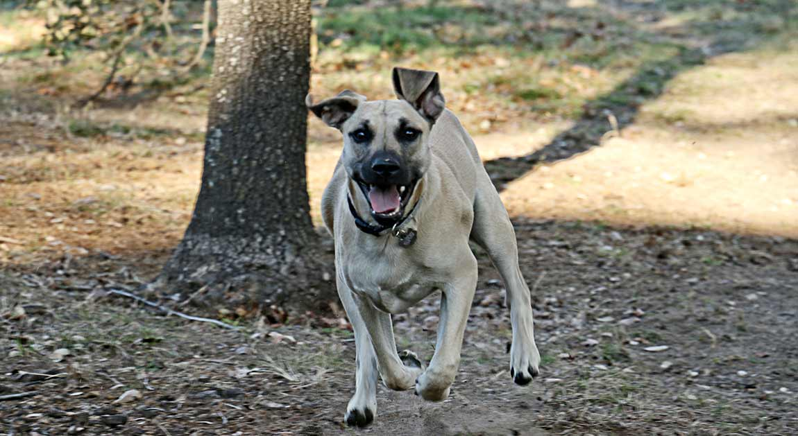 Viva - the Black Mouth Cur