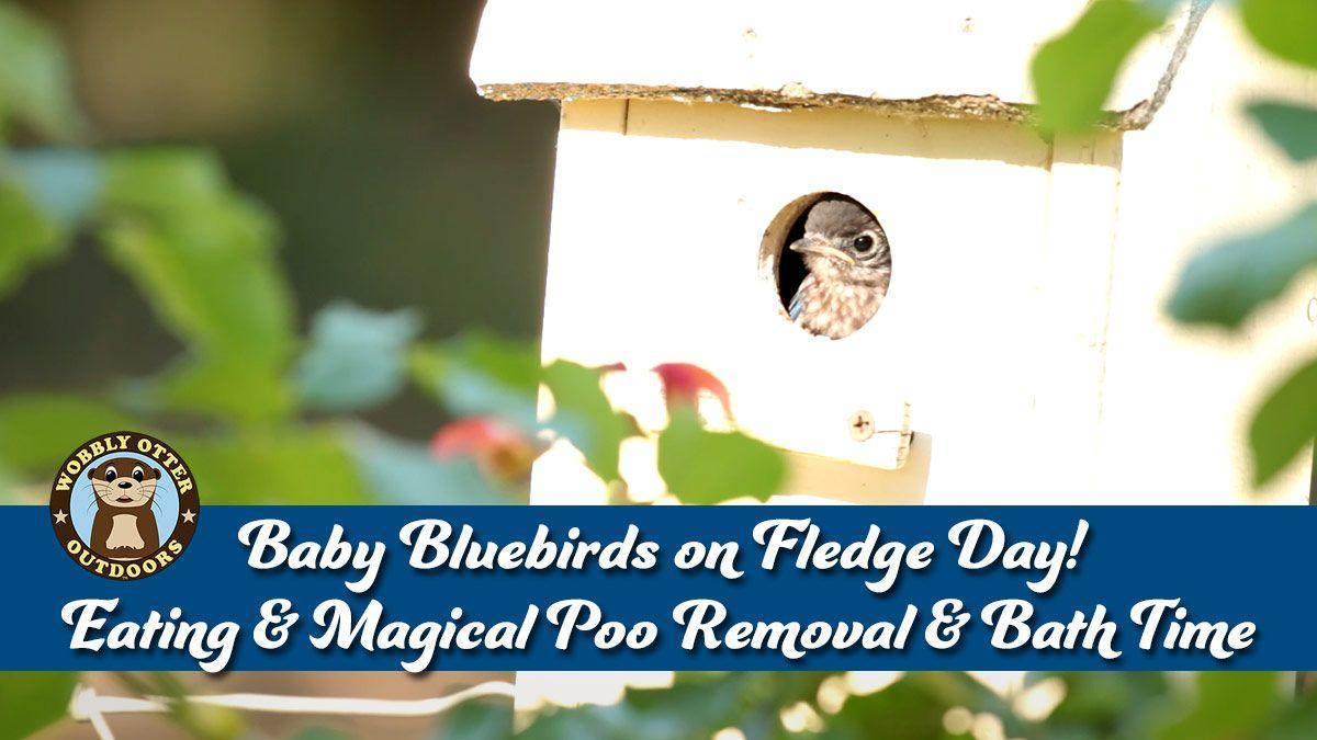Bluebird Babies Fledge Day