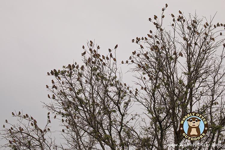Flock of Cedar Waxwing in Liveoak Tree