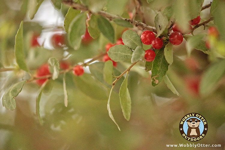 Yaupon Holly Berry - closer view