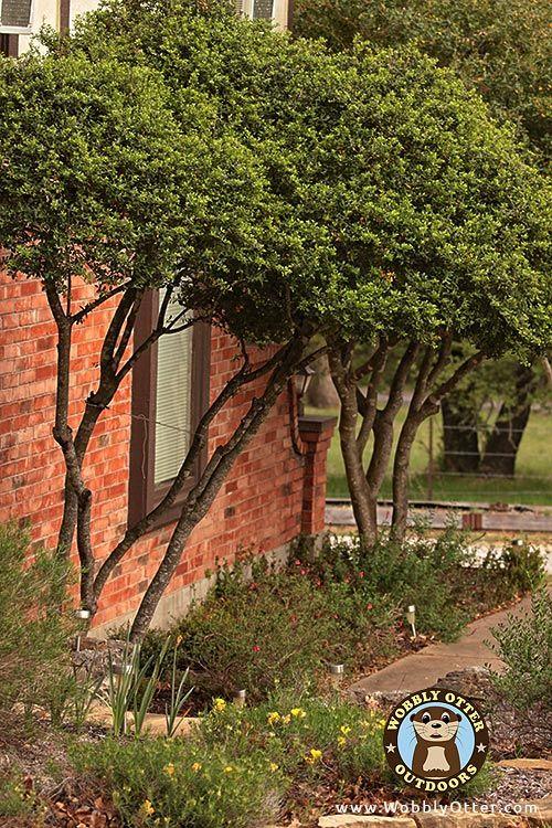 Yaupon Holly (Ilex vomitoria) Tree