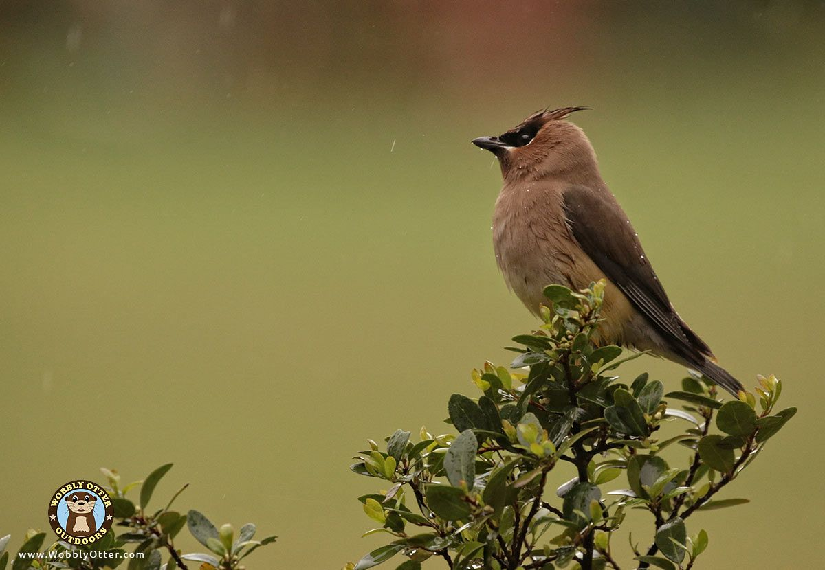 Cedar Waxwing in Yaupon Holly during light rain