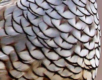 Scaled Quail Feathers Close-Up
