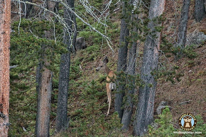 Mule Deer Doe, Bighorn National Forest, Wyoming