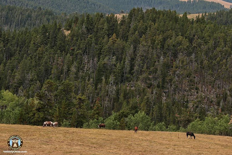 Horses, Bighorn National Forest, Wyoming