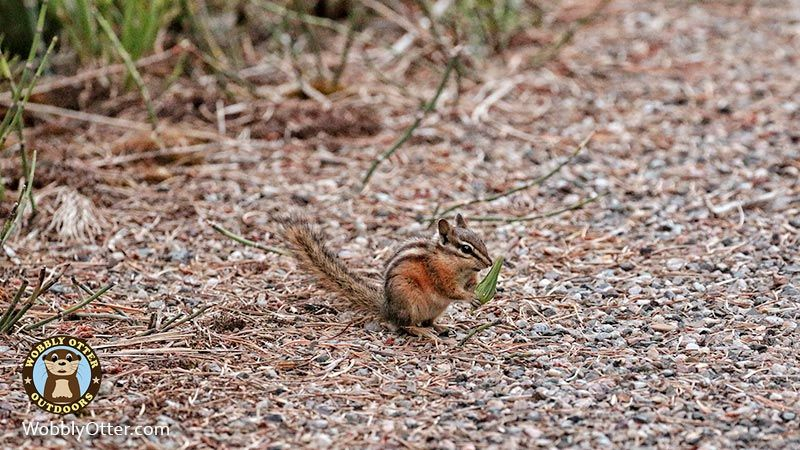 Chipmunk at Swan Creek Campground in the Gallating National Forest of Montana
