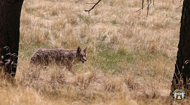 Coyote in the Valles Caldera National Preserve