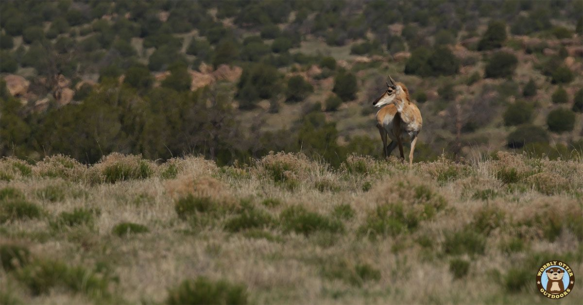 Antelope in the Kiowa National Grasslands