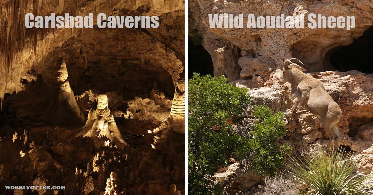 Carlsbad Caverns & Aoudad/Barbary Sheep