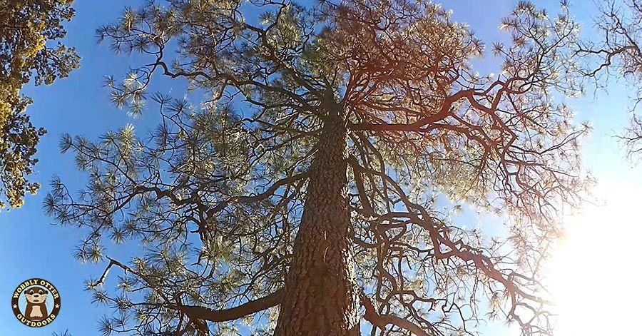 Ponderosa Pine along Pine Tree Loop Trail