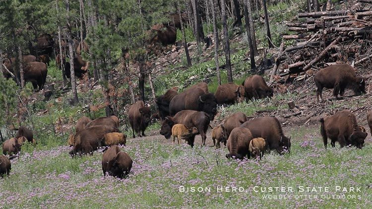 bison herd custer state park