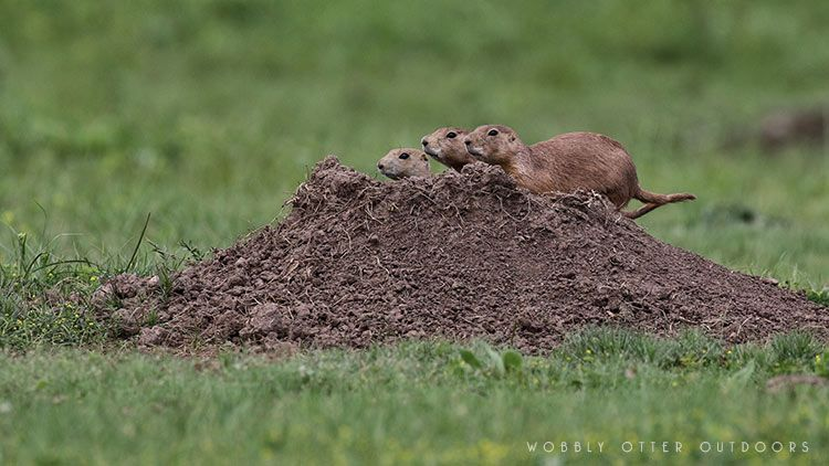 custer state park prairie dogs