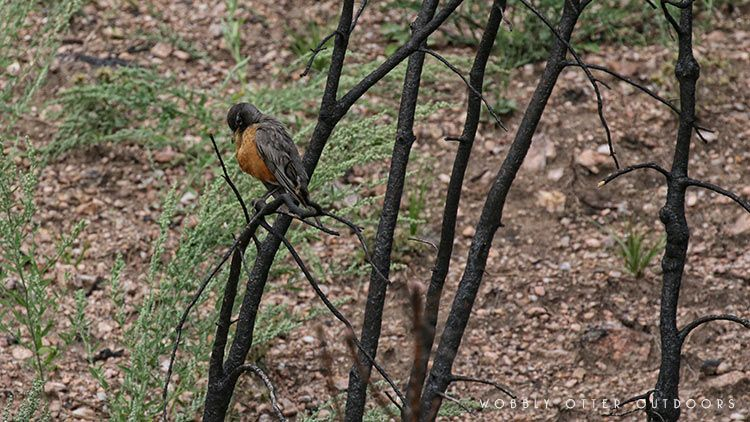 custer state park - Robin in Burned Tree