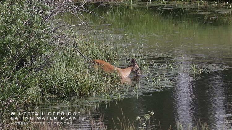 whitetail doe eats water plants in river