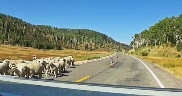 sheep dogs in Flat Canyon, Utah